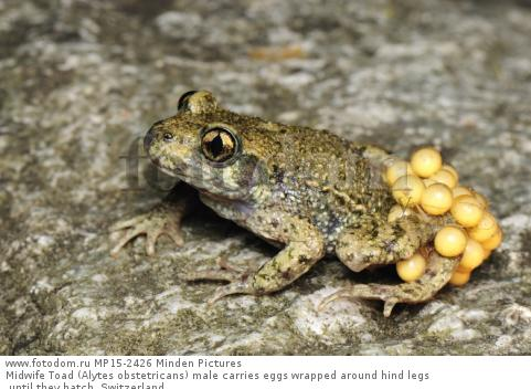 Midwife Toad (Alytes obstetricans) male carries eggs wrapped around hind legs until they hatch, Switzerland