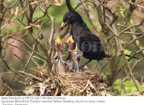Eurasian Blackbird (Turdus merula) father feeding chicks in nest, Lower Saxony, Germany