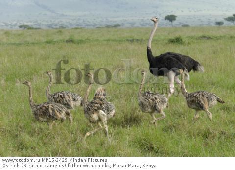 Ostrich (Struthio camelus) father with chicks, Masai Mara, Kenya