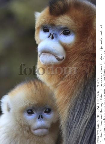 Golden Snub-nosed Monkey (Rhinopithecus roxellana) male and juvenile huddled up against each other to keep warm, Qinling Mountains, China