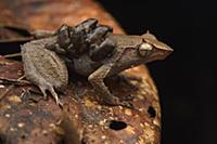 Spike-browed Frog (Sphenophryne cornuta) father tr