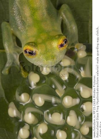 Reticulated Glass Frog (Hyalinobatrachium valerioi) male guarding egg clutch, Costa Rica