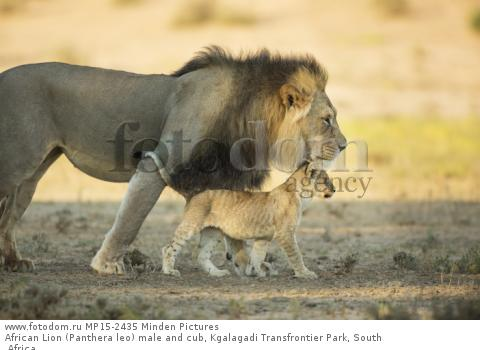 African Lion (Panthera leo) male and cub, Kgalagadi Transfrontier Park, South Africa