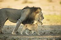 African Lion (Panthera leo) male and cub, Kgalagad