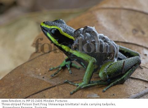 Three-striped Poison Dart Frog (Ameerega trivittata) male carrying tadpoles, Brownsberg Reserve, Surinam