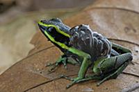 Three-striped Poison Dart Frog (Ameerega trivittat