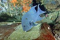 Giant Damselfish (Microspathodon dorsalis) male gu