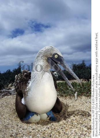 Blue-footed Booby (Sula nebouxii) male incubating eggs with webbed feet, Seymour Island, Galapagos Islands, Ecuador