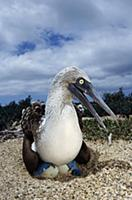 Blue-footed Booby (Sula nebouxii) male incubating