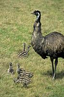 Emu (Dromaius novaehollandiae) adult male, with ch