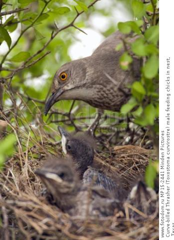 Curve-billed Thrasher (Toxostoma curvirostre) male feeding chicks in nest, Texas