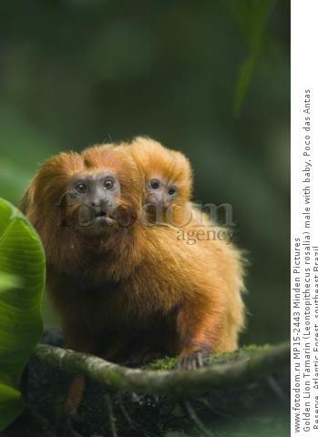 Golden Lion Tamarin (Leontopithecus rosalia) male with baby, Poco das Antas Reserve, Atlantic Forest, southeast Brazil