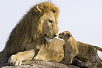 African Lion (Panthera leo) seven to eight week ol