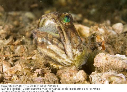 Banded Jawfish (Opistognathus macrognathus) male incubating and aerating clutch of eggs, West Palm Beach, Florida