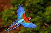 Red and Green Macaw (Ara chloroptera) flying, Cerr