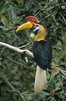 Sulawesi Red-knobbed Hornbill (Aceros cassidix) br