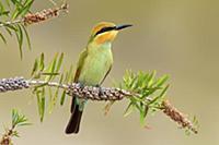Rainbow Bee-eater (Merops ornatus) juvenile, Victo