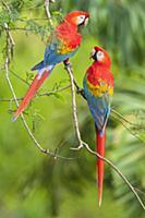 Scarlet Macaw (Ara macao) pair, Tambopata National
