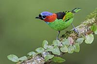 Red-necked Tanager (Tangara cyanocephala), Atlanti