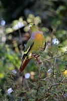 Orange-breasted Green Pigeon (Treron bicincta legg