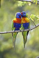 Rainbow Lorikeet (Trichoglossus haematodus) pair,