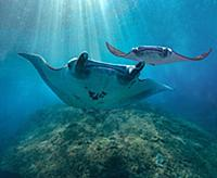Reef Manta Ray (Manta alfredi) pair, Nusa Penida,