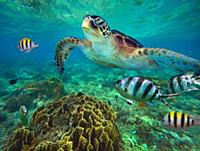 Green Sea Turtle (Chelonia mydas) and Sergeant Maj