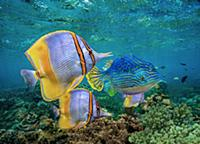 Butterflyfish (Chaetodon sp) group and male Horned