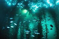 Blue Rockfish (Sebastes mystinus) school in kelp f