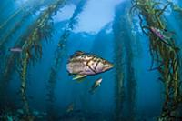 Kelp Bass (Paralabrax clathratus) group in kelp fo