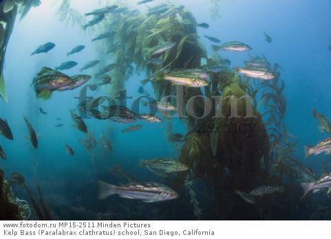 Kelp Bass (Paralabrax clathratus) school, San Diego, California