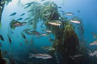 Kelp Bass (Paralabrax clathratus) school, San Dieg