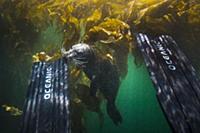 Harbor Seal (Phoca vitulina) biting scuba diver's