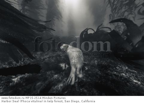 Harbor Seal (Phoca vitulina) in kelp forest, San Diego, California