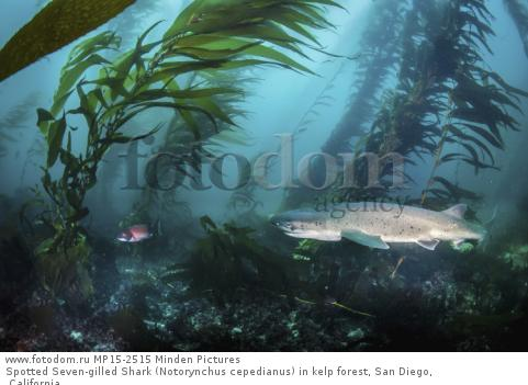 Spotted Seven-gilled Shark (Notorynchus cepedianus) in kelp forest, San Diego, California