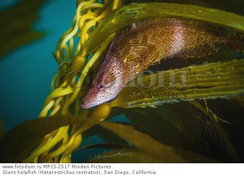 Giant Kelpfish (Heterostichus rostratus), San Diego, California