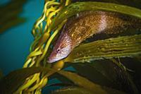 Giant Kelpfish (Heterostichus rostratus), San Dieg