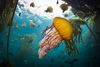 Pacific Sea Nettle (Chrysaora fuscescens) jellyfis