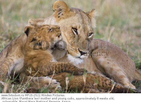African Lion (Panthera leo) mother and young cubs, approximately 8 weeks old, vulnerable, Masai Mara National Reserve, Kenya