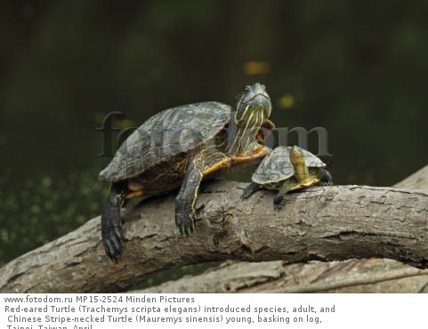 Red-eared Turtle (Trachemys scripta elegans) introduced species, adult, and Chinese Stripe-necked Turtle (Mauremys sinensis) young, basking on log, Taipei, Taiwan, April