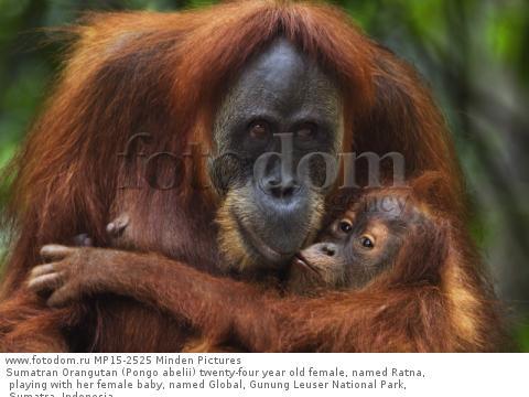 Sumatran Orangutan (Pongo abelii) twenty-four year old female, named Ratna, playing with her female baby, named Global, Gunung Leuser National Park, Sumatra, Indonesia