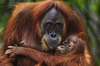 Sumatran Orangutan (Pongo abelii) twenty-four year