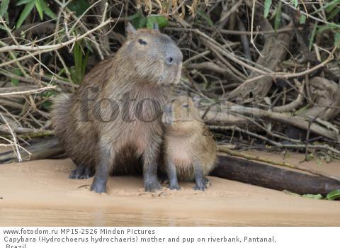 Capybara (Hydrochoerus hydrochaeris) mother and pup on riverbank, Pantanal, Brazil