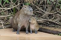 Capybara (Hydrochoerus hydrochaeris) mother and pu