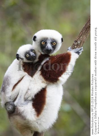 Coquerel's Sifaka (Propithecus coquereli) mother with three month old young, Madagascar