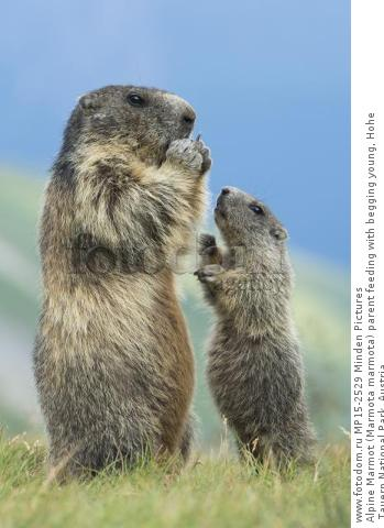 Alpine Marmot (Marmota marmota) parent feeding with begging young, Hohe Tauern National Park, Austria