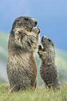 Alpine Marmot (Marmota marmota) parent feeding wit