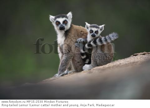 Ring-tailed Lemur (Lemur catta) mother and young, Anja Park, Madagascar