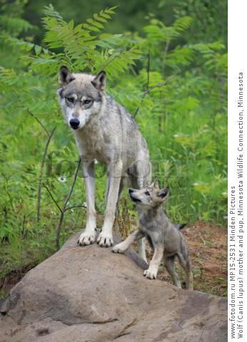 Wolf (Canis lupus) mother and pup, Minnesota Wildlife Connection, Minnesota