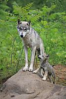 Wolf (Canis lupus) mother and pup, Minnesota Wildl